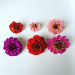 ジニア キク科 7月~10月 利用部位:花びらのみ