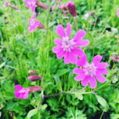 フクロナデシコ ナデシコ科 4月~5月 花の部分