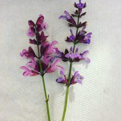 コモンセージ シソ科 5月 花の部分