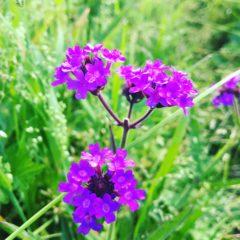 バーベナ クマツヅラ科 5月~10月 花の部分のみ