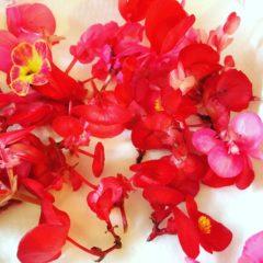 ベゴニア シュウカイドウ科 6月~10月 花の部分
