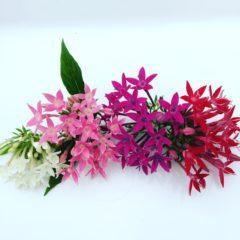 ペンタス アカネ科 7月~11月 利用部位:花の部分のみ