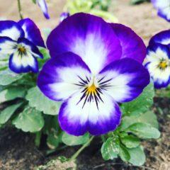 ビオラ スミレ科 11月~5月 花の部分