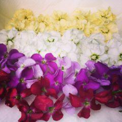 ストック アブラナ科 11月~4月 花の部分