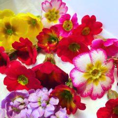 プリムラジュリアン サクラソウ科 1月~3月 利用部位:花びら